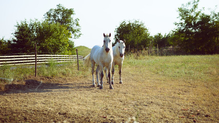 White horses on the field