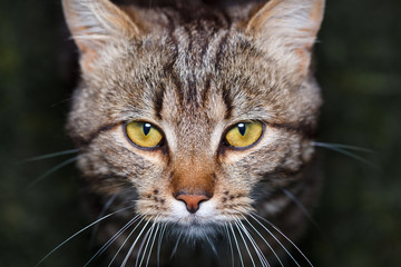 bicolor stripes cat with yellow eyes