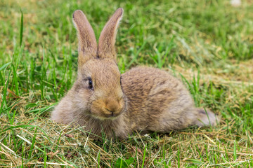 young gray rabbit on green grass