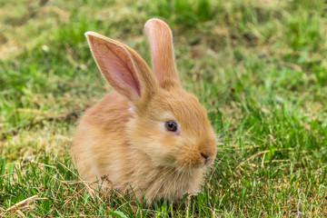 red rabbit on green grass