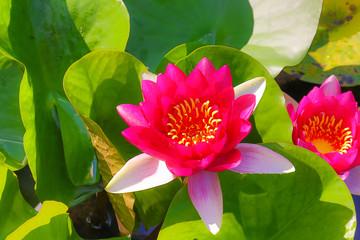蓮のある風景、花のイメージ写真