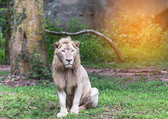 Male white lions sitting relaxation in natural