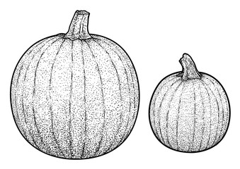Pumpkin illustration, drawing, engraving, ink, line art, vector