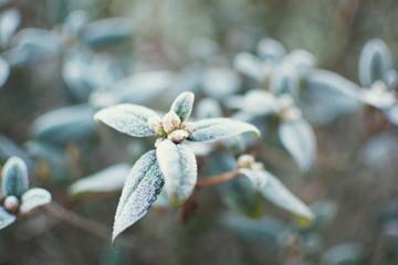 Gartenpflanze mit Rauhreif