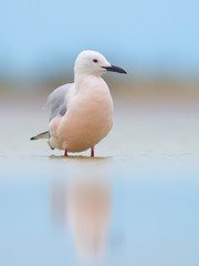 The slender-billed gull (Chroicocephalus genei)