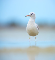 Juvenile slender-billed gull (Chroicocephalus genei)