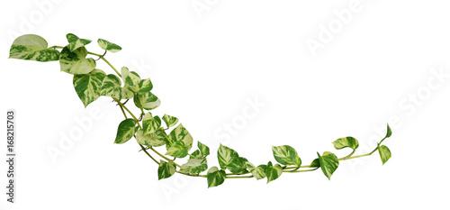 Heart shaped leaves vine golden pothos isolated on white background heart shaped leaves vine golden pothos isolated on white background tropical climbing jungle plant mightylinksfo