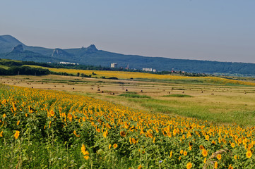 Fields with blooming sunflower