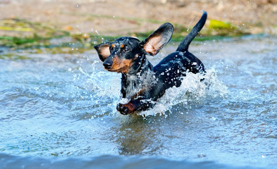 Dachshund swims in the lake, jumps over the water with a spray