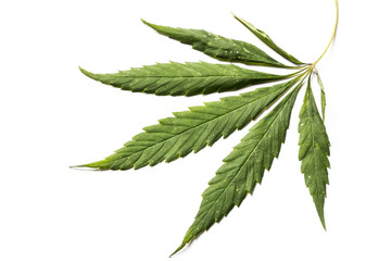 Green drying leaf of hemp on white background.