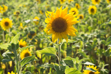 Sunflower field in sunset light. Autumn background.