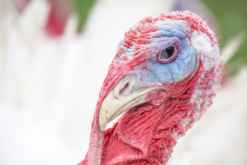 an head of an turkey