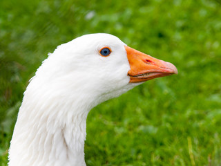 White domestic goose walks in the grass. Farm animal.