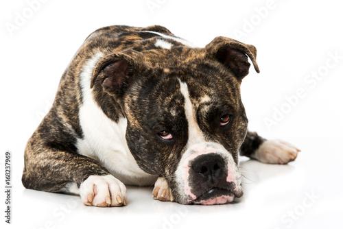 Old English Bulldog Rüde Stockfotos Und Lizenzfreie Bilder Auf