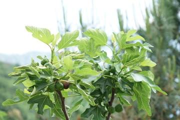 Feigenbaum mit reifen und unreifen Früchten