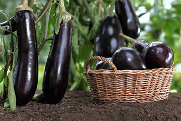 basket full of eggplants on the soil under the plants in vegetable garden , crop concept