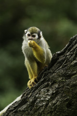 Common squirrel monkey eating fruit