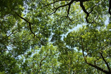 Branches and leaves of big tree in forest : up view