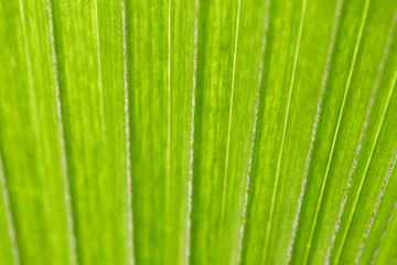 abstract image of fresh Green Palm leaves