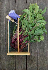 Freshly picked beets with the greens attached in a wood and wire basket or hod. Lavender garden gloves and a garden tool are pictured. Photographed on weathered wood planks.