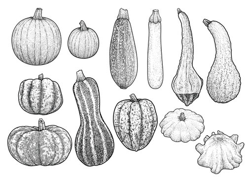 Squash collection illustration, drawing, engraving, ink, line art, vector