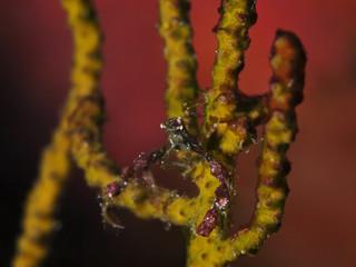Decorator Crab (Inachidae)