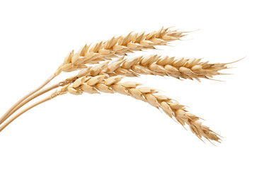 Three wheat spikelets