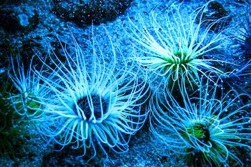 Beautiful marine life in the blue light. Actiniaria