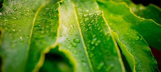 Green leaves natural background  wallpaper / droplet water on leaf
