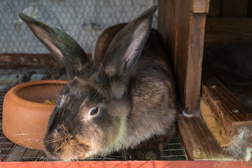 Brown rabbit in the cage