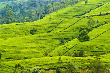 Scenic views of tea plantations in Sri Lanka. Views of the plantation and tea mackwoods labookellie tea in Nuwara Eliya