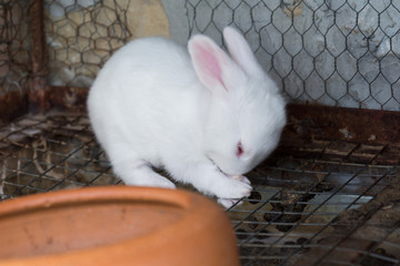 White baby rabbit in the cage