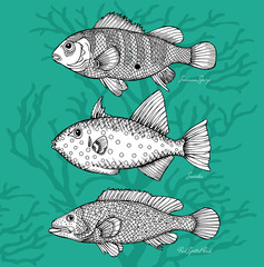 Set Fishes, Surinam Sparys, Scaridae, Red Spotted Perch Black & White & Green
