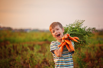 Adorable little kid boy picking carrots in domestic garden on the sunset