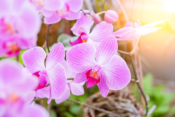Close-up of beautiful pink phalaenopsis orchid flower with natural background in the garden