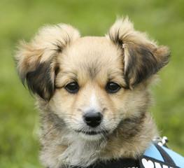 Portret puppy hondje.