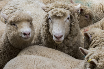 Two Sheep Cornwall