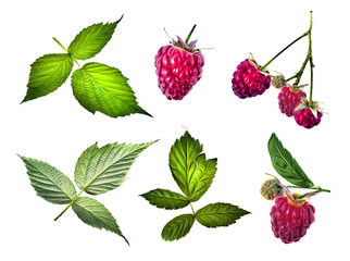 Raspberries illustration. Design elements.