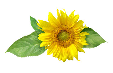 Sunflower flower with leaves isolated on white background with clipping path.