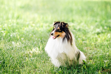 portrait of  dog puppy  Shetland Sheepdog isitting on grass on nature background. collie  playing