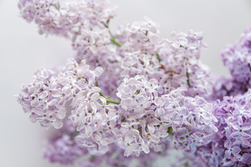 Flowering of lilac