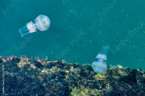 Beautiful glowing blue jellyfish in blue water sea with little fish beautiful glowing blue jellyfish in blue water sea with little fish background publicscrutiny Image collections