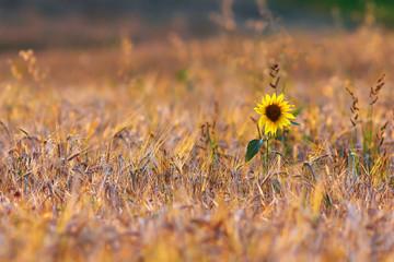 sunflower in wheat field