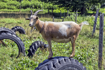 Goat Standing on Tire in Field