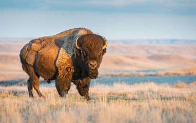 Canadian bison in the prairies Wall mural
