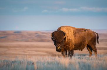 Canvas Prints Bison Bison in the Canadian grasslands