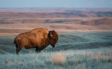 Canvas Prints Bison Bison in Grasslands
