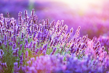 Papiers peints Lavande Lavender flower field at sunset.