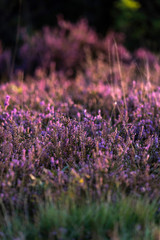 Detail of blooming common heather in morning sunlight.