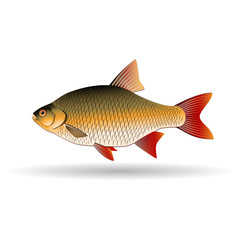 Rudd. Freshwater fish of the carp family. Realistic illustration. Vector Image.